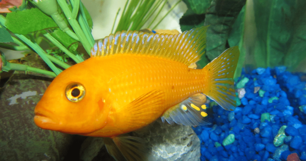 Cichlid Fish   Cichlid Fish The Family Of Fish Which Keeps On Growing Pet Adore