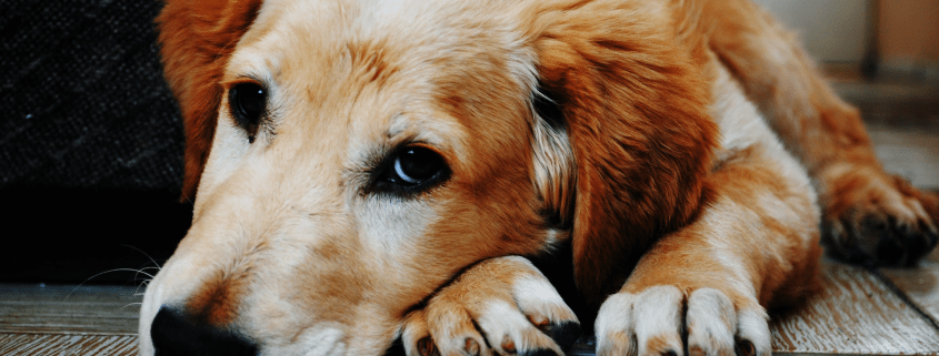 colitis in dogs