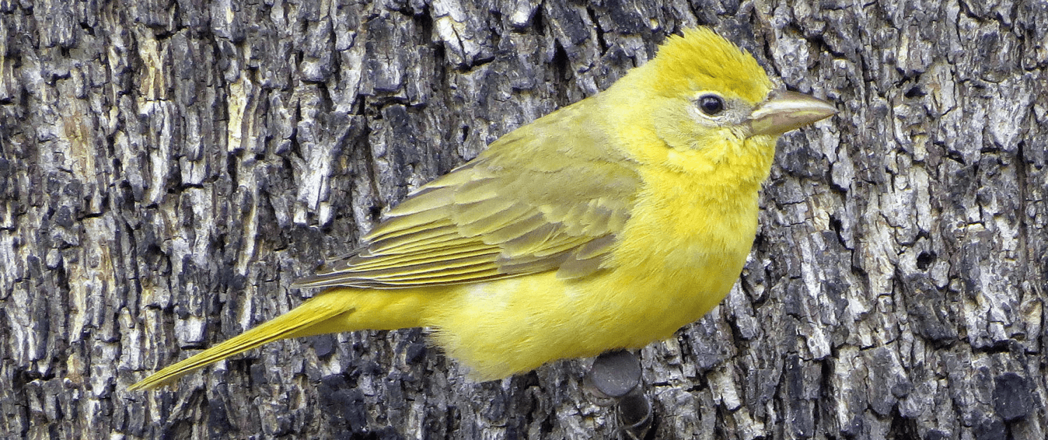 female canary
