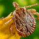 removing ticks from dogs