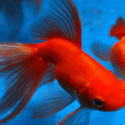 types of goldfish